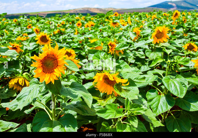 Blooming sunflowers in a field photographed in israel in may stock