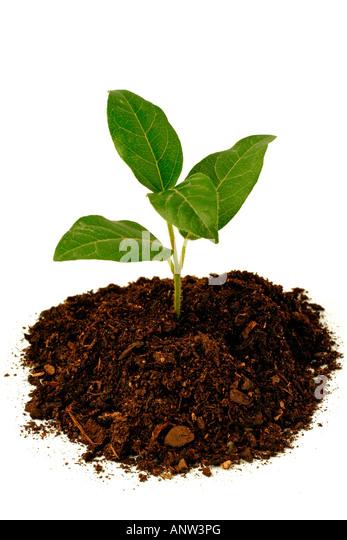 little laurustinus viburnum tinus stock image
