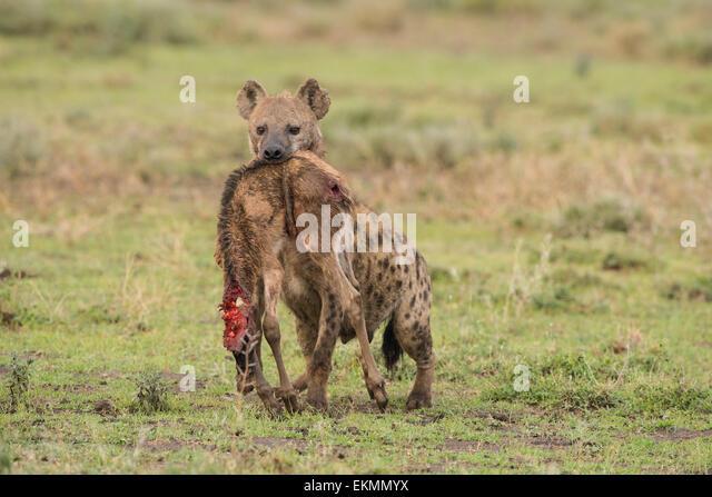 Hyena Kill Stock Photo...