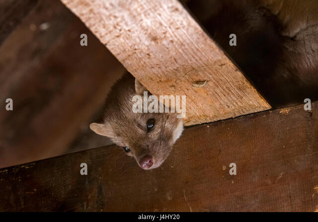 Beech marten / stone marten / house marten (Martes foina) foraging on beams in ceiling of attic - Stock Image