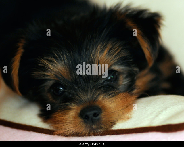 Yorkie Puppy Stock Photos & Yorkie Puppy Stock Images - Alamy Yorkshire Terrier 5 Weeks Pregnant