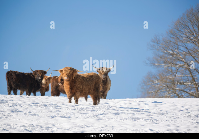 Highland Cattle Snow Stock Photos & Highland Cattle Snow ...