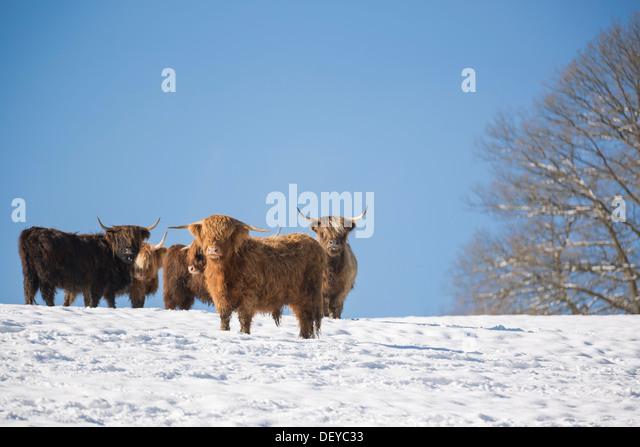 Highland Cattle Snow Stock Photos & Highland Cattle Snow ...