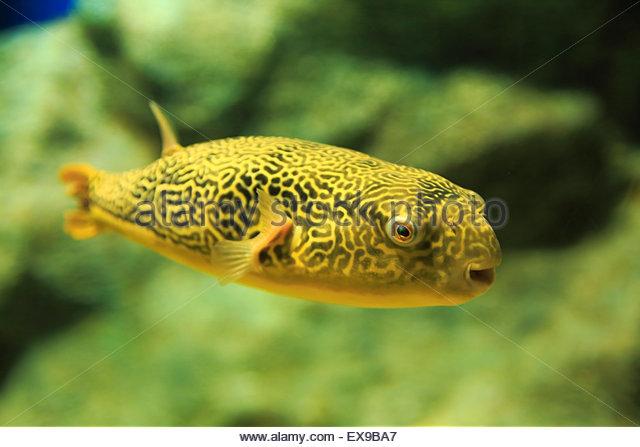 Puffer fish japan stock photos puffer fish japan stock for Japanese puffer fish