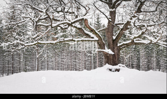 Very old and big oak with winter mood at daytime in Finland - Stock Image