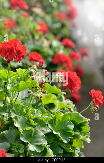 Pelargonium Red Stock Photos & Pelargonium Red Stock ...