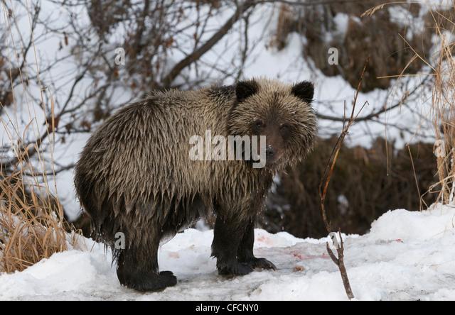 Bear cubs snow forest stock photos bear cubs snow forest for Snow bear ice fishing