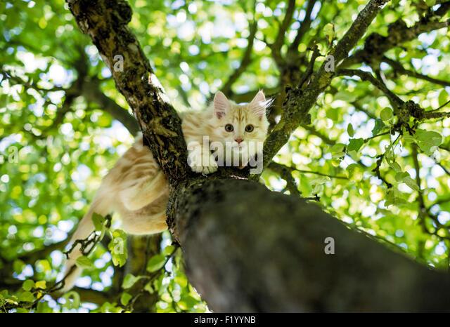 Norwegian Forest Cat O...
