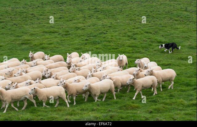 Sheep Dog Flock Stock Photos & Sheep Dog Flock Stock Images - Alamy