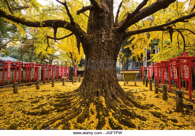 Tradition holds that this tree, which stands in the courtyard of the Zoshigaya Kishimojin Temple in Tokyo, brings - Stock Image