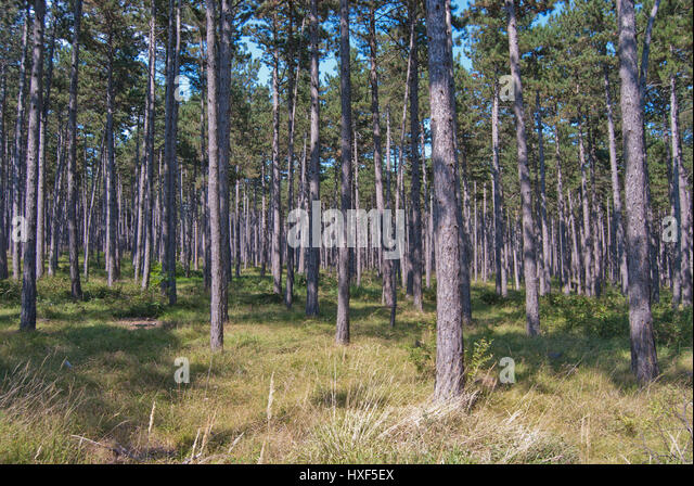 Monoculture stock photos monoculture stock images alamy for Pine tree timber