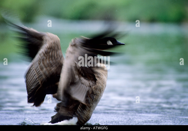 Canada Goose chateau parka sale fake - Canada Goose Stretching Wings Stock Photos & Canada Goose ...
