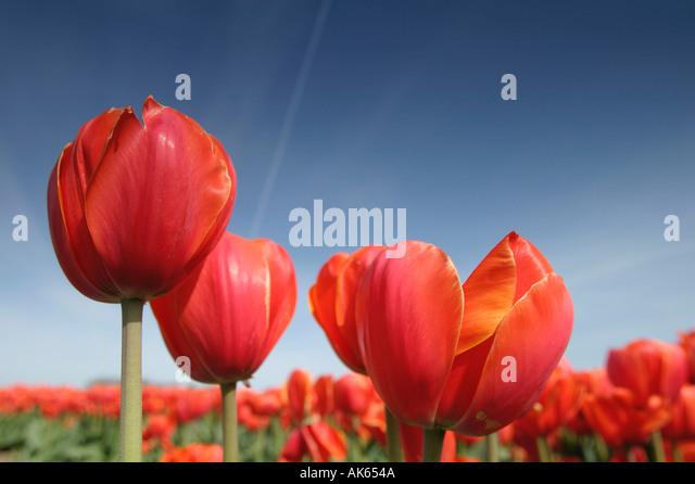Tulips Tulpen Blumen Flowers Gartenpflanzen Stock Photos & Tulips ... Tulpen Im Garten Pflanzen