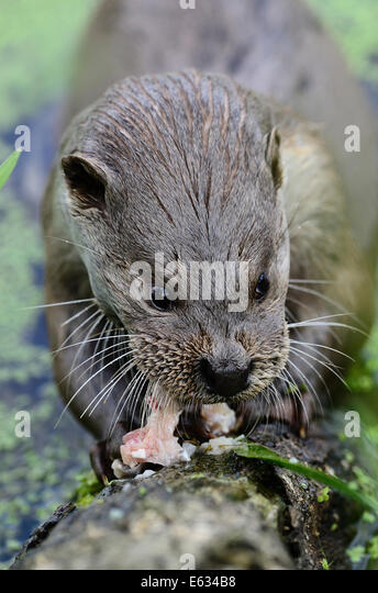 Otter see fish stock photos otter see fish stock images for Otter fish houses