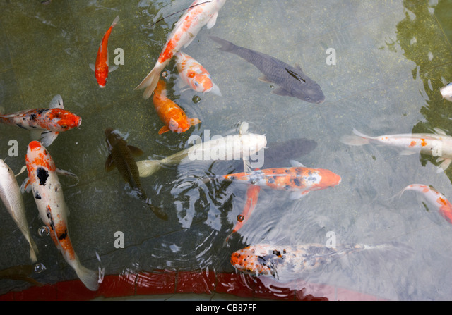 Koi carp chinese stock photos koi carp chinese stock for Koi carp pool