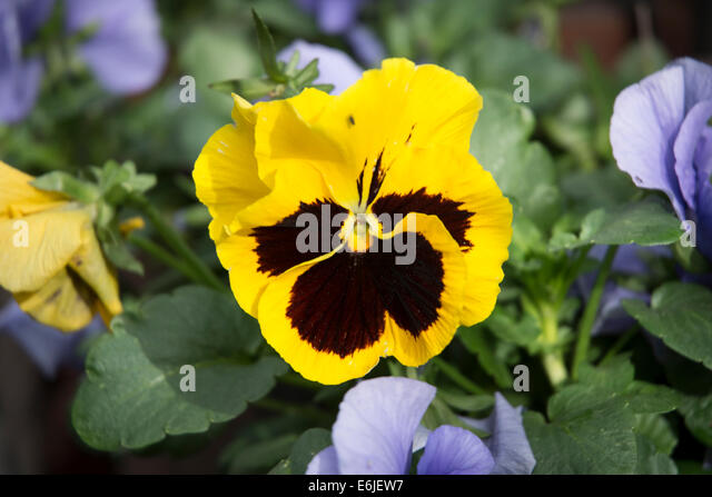 Yellow Pansy Stock Photos & Yellow Pansy Stock Images - Alamy