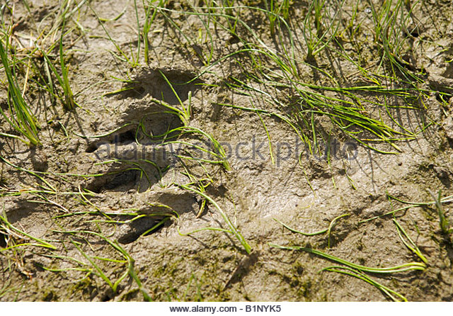 Black bear tracks in mud