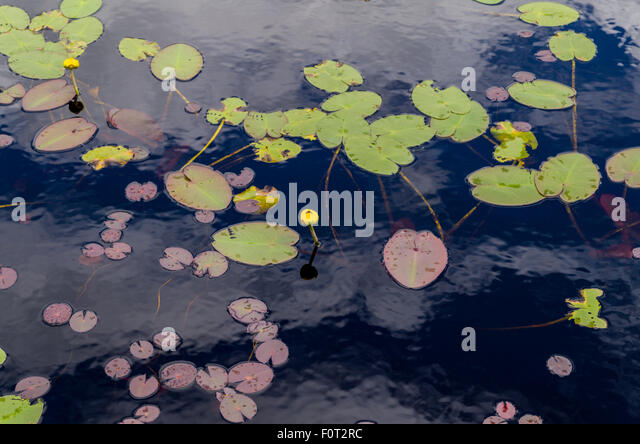 Canada Lily Stock Photos Canada Lily Stock Images Alamy