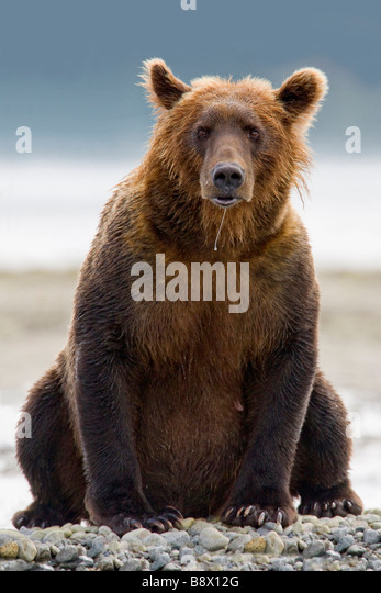 Grizzly bear sitting up - photo#18