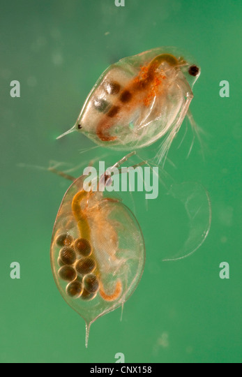 Water Fleas Stock Photos & Water Fleas Stock Images - Alamy