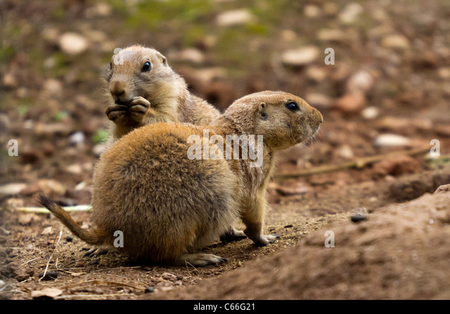 Prairie Dogs As Pets In New York