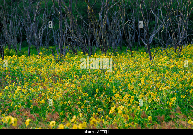 Yellow Flowered Wedelia At Sunset With Dead Tree Trunks Molokai Hawaii