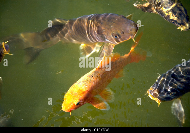 Murky pond stock photos murky pond stock images alamy for Green koi fish