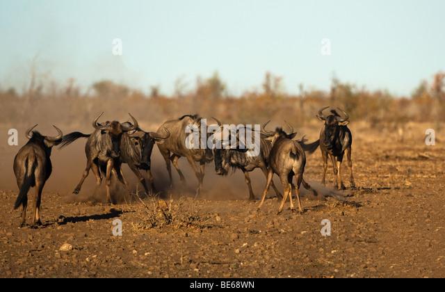 Wildebeest stampede