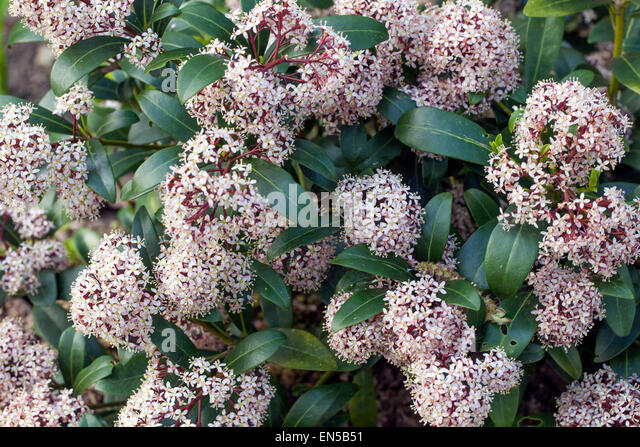 skimmia japonica stock photos skimmia japonica stock images alamy. Black Bedroom Furniture Sets. Home Design Ideas