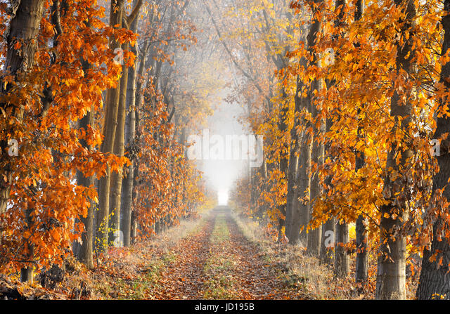 A lane with fallen leaves on the ground bordered by trees in autumn colors showing great perspective and ending - Stock Image