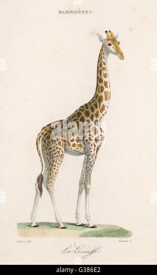 giraffe dating