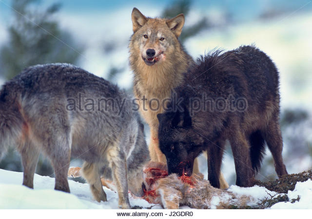 Wolf eating animal