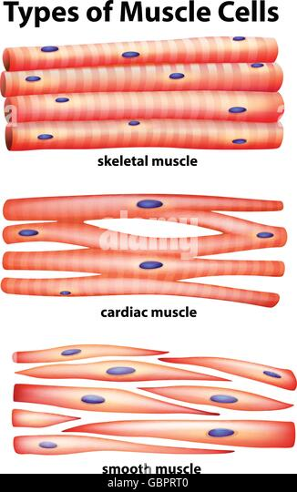 cardiac muscle cell stock photos & cardiac muscle cell stock, Human body