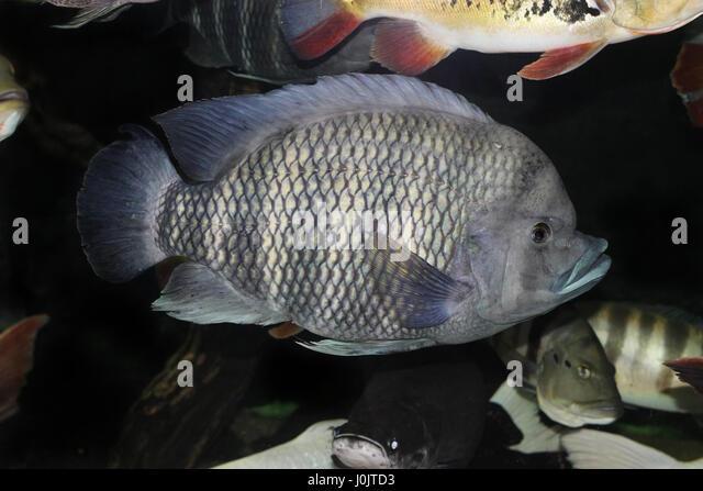 Aquaristic stock photos aquaristic stock images alamy for Tilapia aquarium