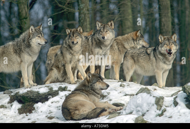 Wolves Of The World  Mackenzie Valley Wolf  Canis lupus