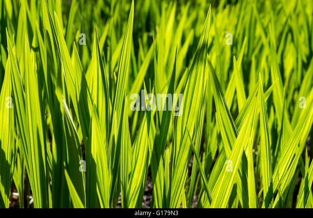 Spiky grass stock photos spiky grass stock images alamy for Spiky ornamental grasses