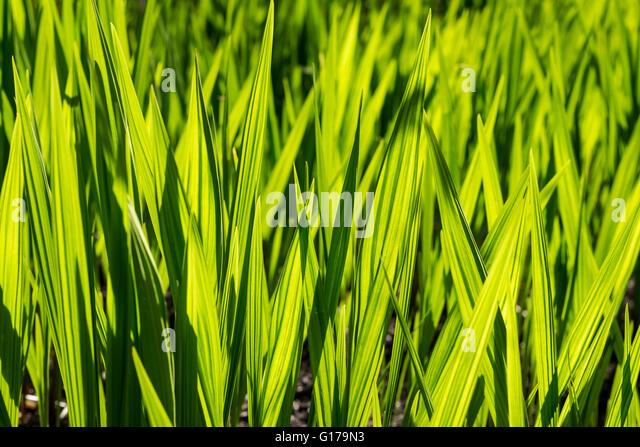Spiky grass stock photos spiky grass stock images alamy for Spiky ornamental grasses