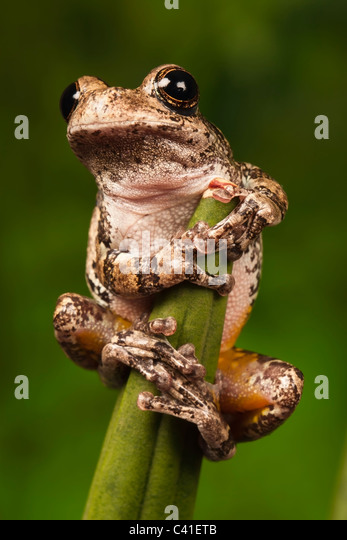 the background of the gray tree frog hyla versicolor They are both grayish frogs with a mottled tree bark pattern and they both vary  in the background is the cajun chorus frog  where the only gray treefrogs .