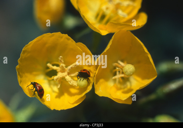 Yellow Cup Wildflower Camissonia Brevipes Stock Photos Yellow Cup