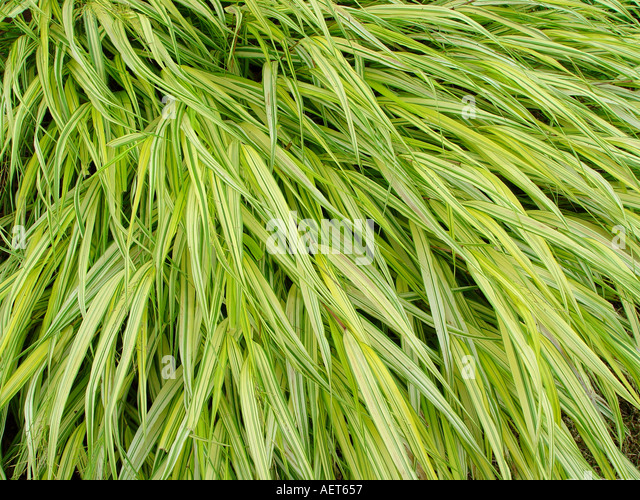 Hakonechloa stock photos hakonechloa stock images alamy for Variegated ornamental grass