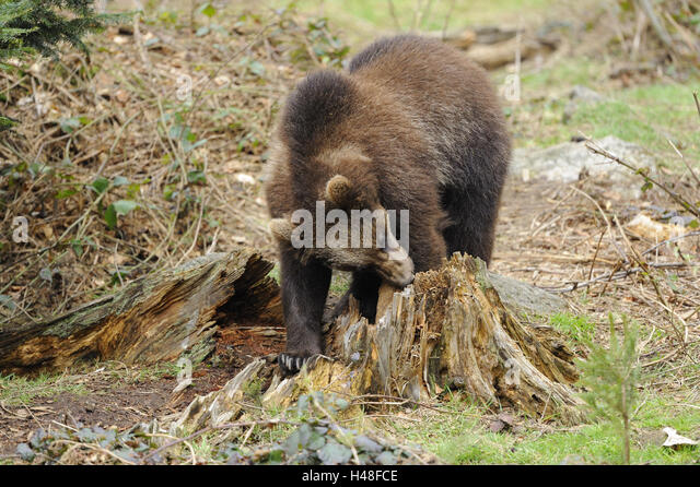 http://l7.alamy.com/zooms/2c1f2ae8561c416ca3366ec594e4c7d0/european-brown-bear-ursus-arctos-arctos-young-animal-h48fce.jpg