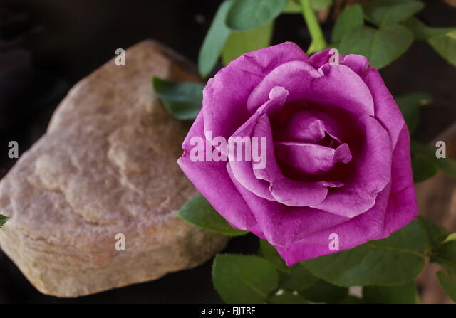 violet flower dark background stock photos amp violet flower