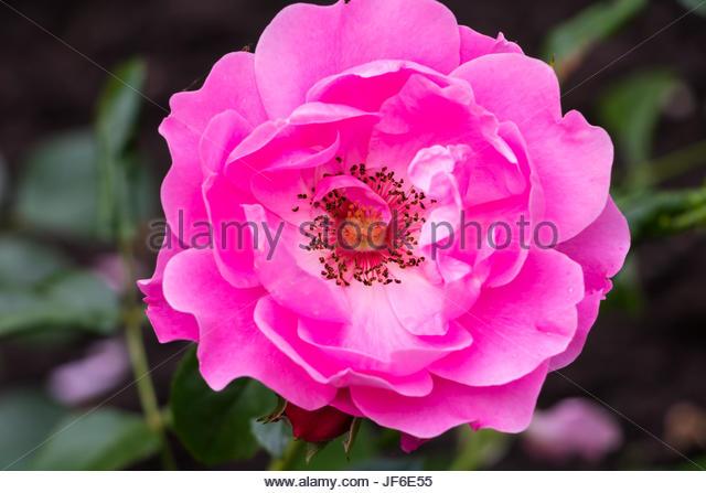 italian rose garden stock photos italian rose garden stock images alamy. Black Bedroom Furniture Sets. Home Design Ideas