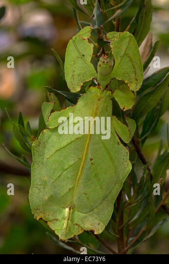 Leaf Insect Camouflage Stock Photos & Leaf Insect ...