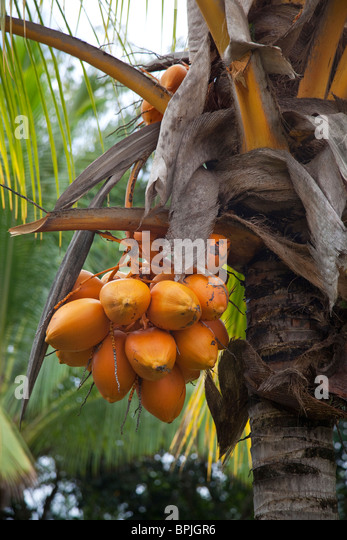 Coconut palm tree yellow stock photos coconut palm tree yellow stock images alamy for Senator fong s plantation and gardens