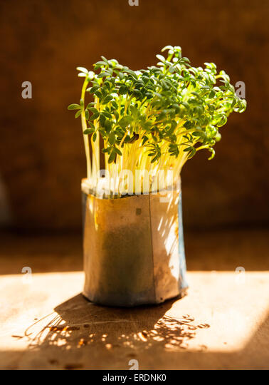how to grow garden cress