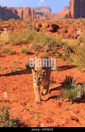 Cougar canyon stock photos cougar canyon stock images for California chiude l utah