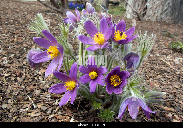 pasque flower in bloom stock image