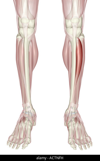 Tibialis Anterior Muscle Cut Out Stock Images Pictures Alamy