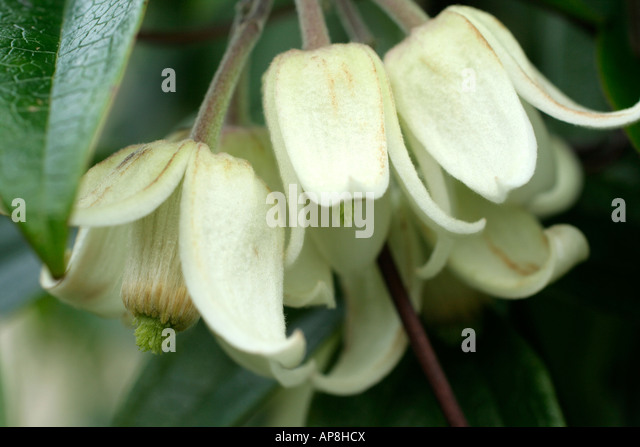clematis urophylla winter beauty stock photos clematis urophylla winter beauty stock images. Black Bedroom Furniture Sets. Home Design Ideas